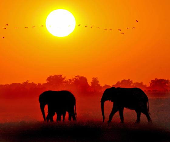Two elephants walking with a sunset