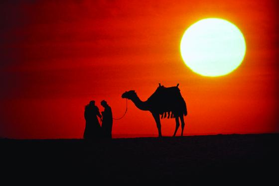 Egyptian camel with red sunset