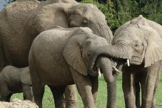 Elephant family close together