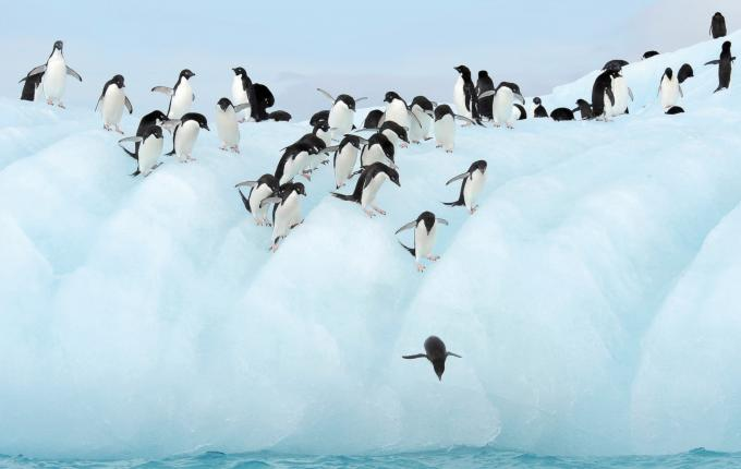 Penguins diving from Antarctica Ice Shelf