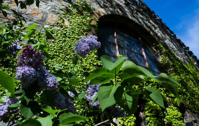 Goddard Chapel, blooming ivy wall